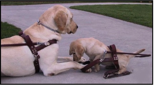big-dog-in-harness-little-pup-35