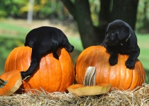 black lab pumpkin